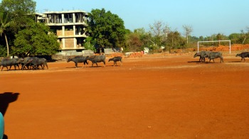 A herd of wild bulls passing by the bouncy castle in Mapusa, Goa