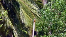 Kingfisher in Agonda, Goa