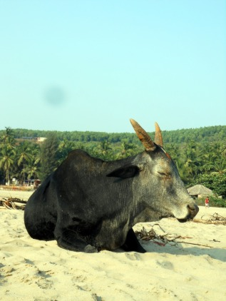 Cow at the beach in Gokarna